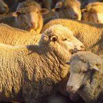 Merino sheep at sunset