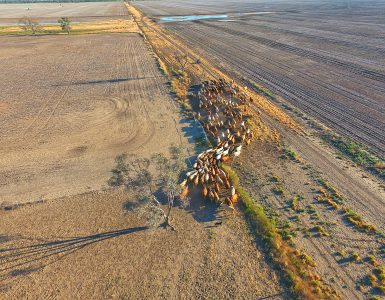 Cattle on drought stricken property