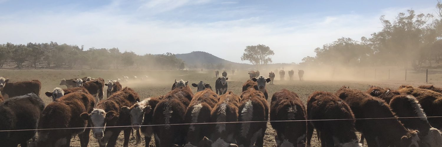 Feeding cattle during drought